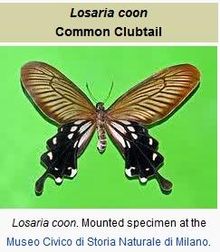 Losaria coon